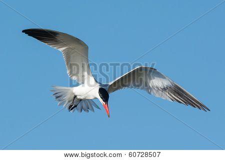 Caspian Tern Hovering In A Blue Sky