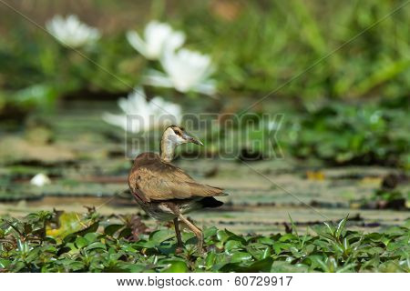 Young African Jacana Looking Back Over Its Shoulder
