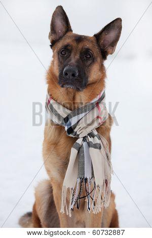 Shepherd Sitting In A Scarf On Snow
