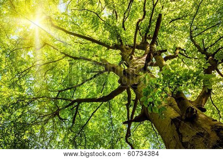 Sun Shining Through An Old Beech Tree