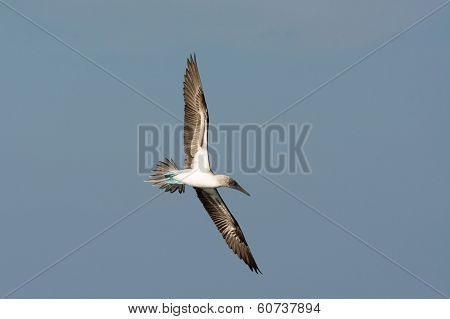 Soaring Blue-footed Booby