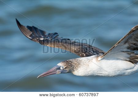 Blue-footed Booby - In flight