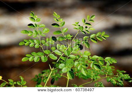 Young Moringa Tree In Sunshine
