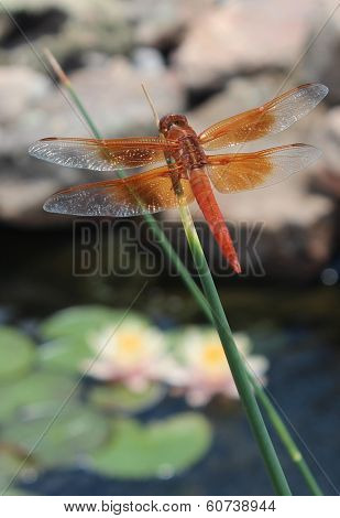 Dragonfly Shimmery Wings