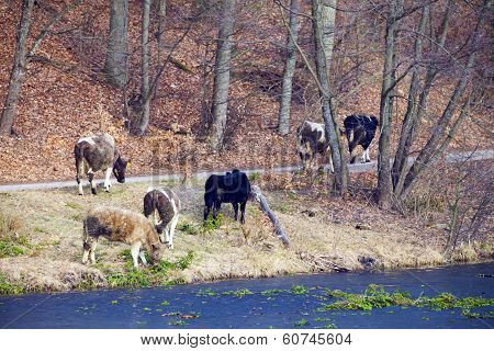 Herd Of Dairy Cows Farm Animals On The River Bank Or Lake Shore