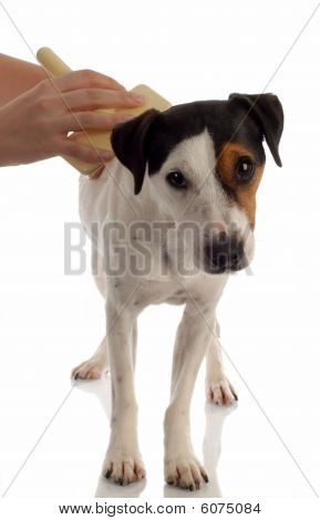 Jack Russel Terrier Being Brushed