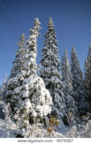 Spruces