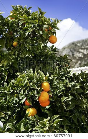 Orange Tree And Mountain