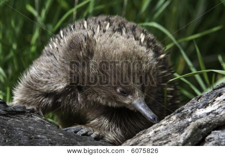 Echidna on the prowl