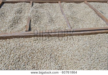 Drying arabica coffee beans