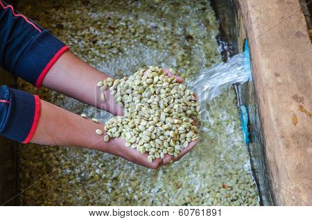 arabica coffee beans in hands