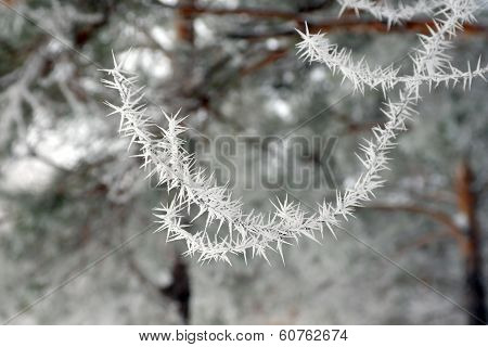 Twig Of Tree Hoar-frost Covered