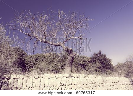 Old Gnarled Almond Tree