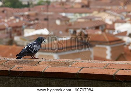 Pigeon Looking At City