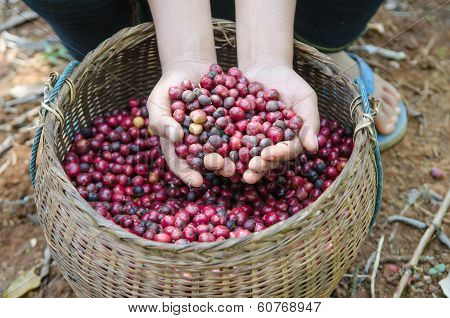 fresh robusta coffee berries in hands