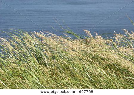 Windy Sea Oats