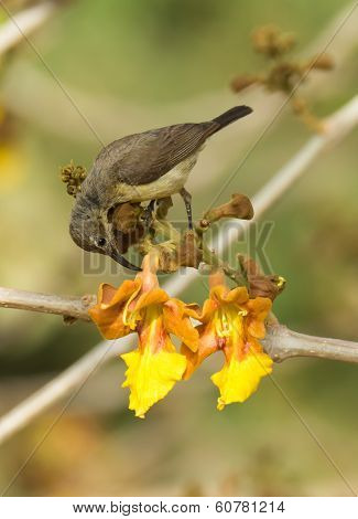 Female Beautiful Sunbird Piercing A Flower For Nectar