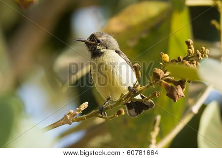 Young Beautiful Sunbird On A Perch