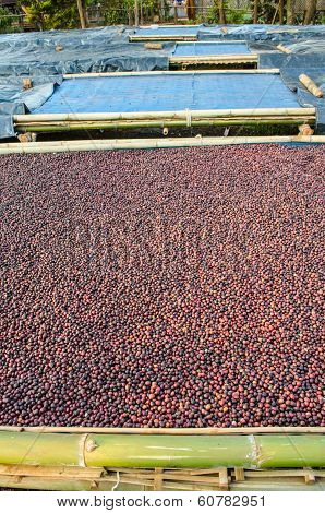 drying coffee berries