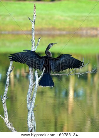 Female Anhinga Wings Spread Wide Open