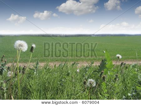 Taraxacum Officinale,  Green Grass And Nlue Sky