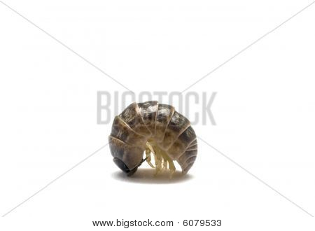Pill Bug Profile