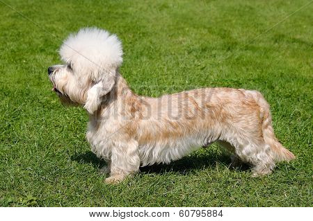 Portrait Of Dandie Dinmont Terrier In A Garden
