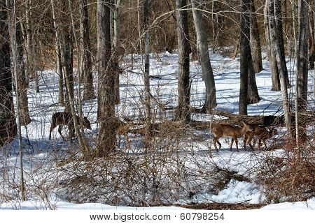 Four Deer Feeding In The Woods During Winter