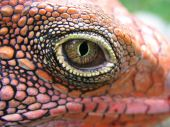 stock photo of gotcha  - closeup of iguana - JPG