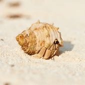stock photo of hermit  - Hermit crab on beach at Maldives - JPG