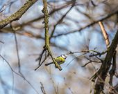 image of great tit  - Great Tit - JPG