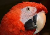 Red Pretty Macaw
