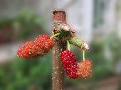 stock photo of mulberry  - Mulberry fruit in the garden - JPG