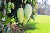 picture of mango  - Mango on mango tree  - JPG