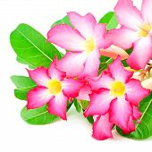 stock photo of desert-rose  - Blossom flower Desert Rose - JPG