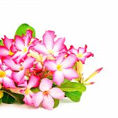 image of desert-rose  - Beautiful red flower blossom of Desert Rose - JPG