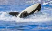 pic of grampus  - A killer whale Orcinus Orca rolling on its back - JPG