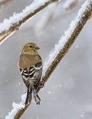 picture of goldfinches  - American goldfinch Carduelis tristis perched on a snowy tree branch - JPG