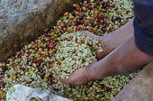 pic of coffee crop  - coffee farmer is showing arabica coffee berries in hands