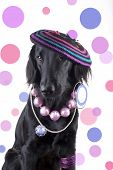 picture of dog-rose  - A female Dog dressed as a funky Lady with lots of Jewels - JPG