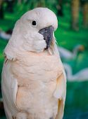 stock photo of cockatoos  - beautiful Salmon - JPG