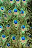 stock photo of indian peafowl  - beautful feather of Indian peafowl (Pavo cristatus)