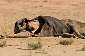 foto of jackal  - Hungry Black backed jackal eating on a hollow carcass in the dry desert - JPG