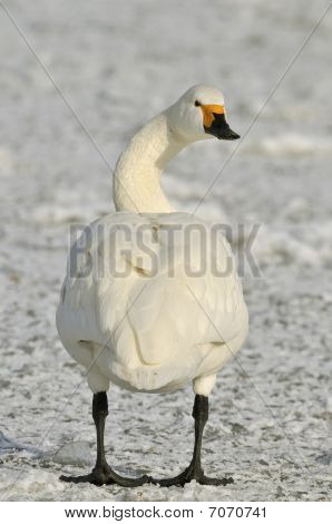Bewick's Swan Standing on frozen lake