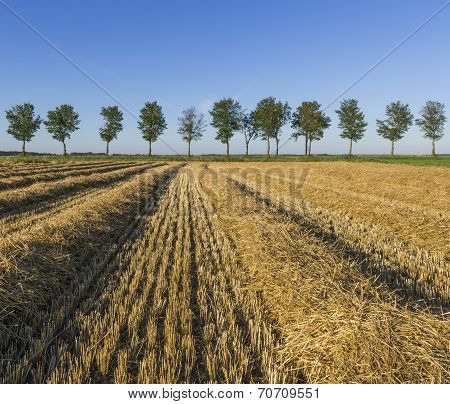 Corn Field With Trees