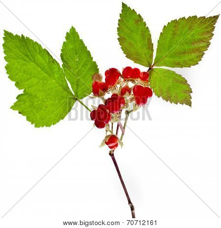 Wild Forestry  Stone Bramble berry (Rubus saxatilis)  close up isolated on white background