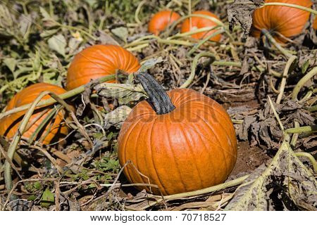 A field of farm pumpkins waiting to be harvested.