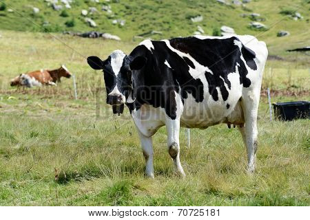 Black And White Holstein Cow