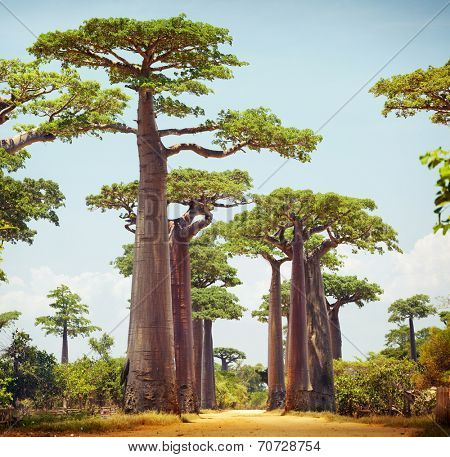 Baobab trees and rural road at sunny day. Madagascar