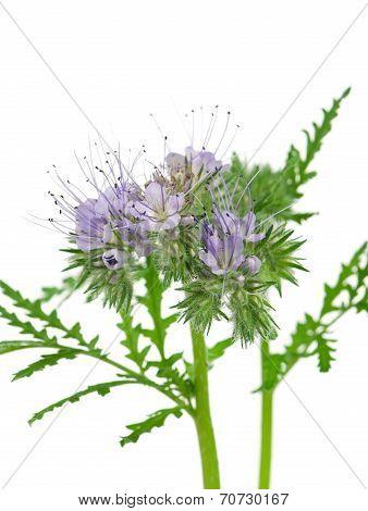 Blooming Phacelia